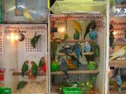 Продажа Попугаи